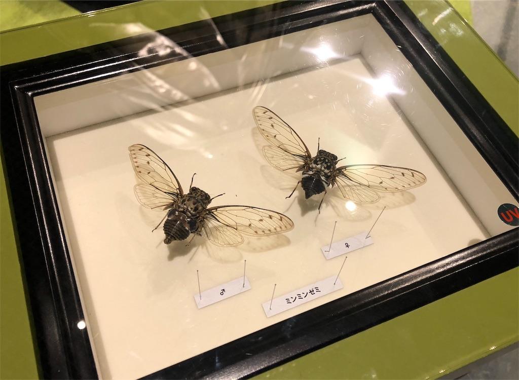 特別展 昆虫 ミンミンゼミ
