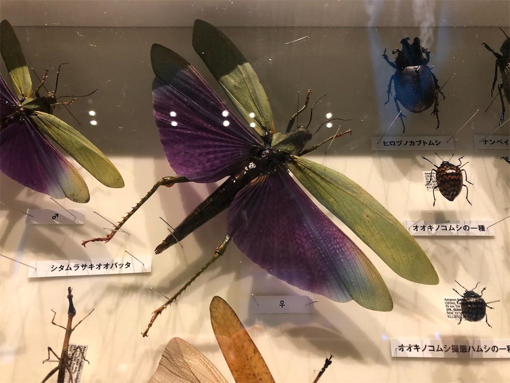 特別展 昆虫 シタムラサキオオバッタ