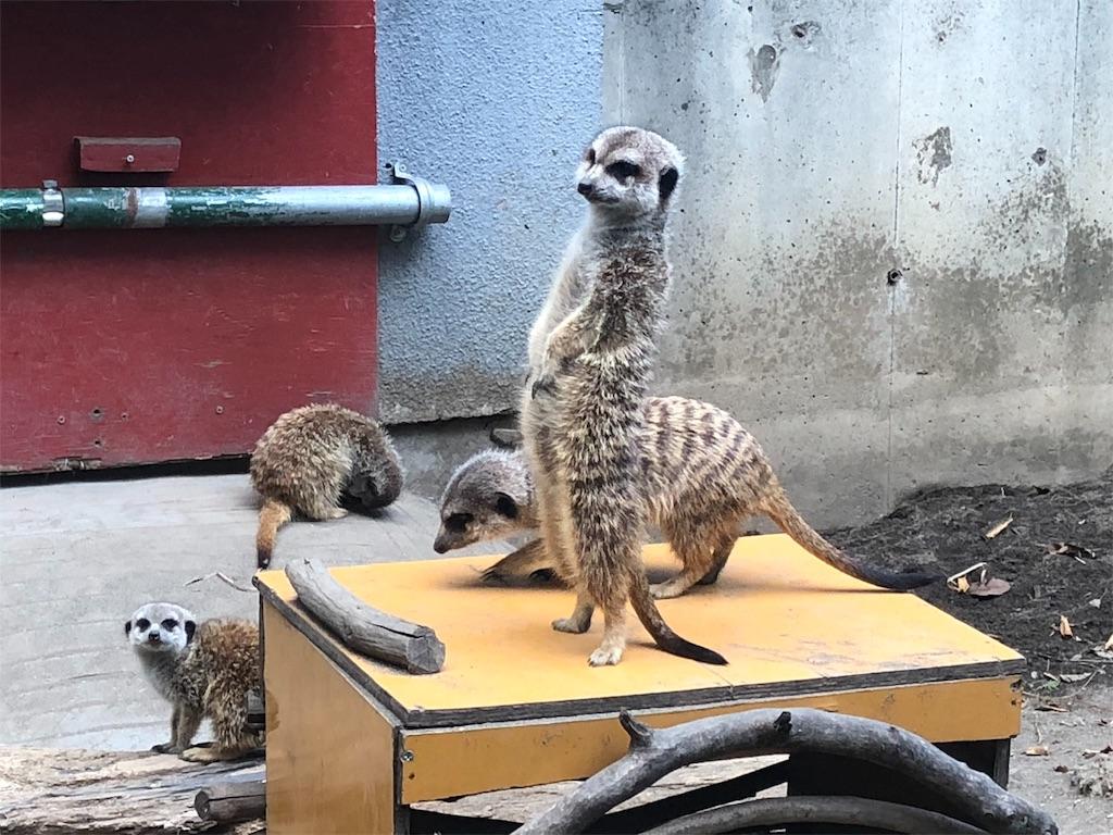 羽村市動物公園 ミーアキャット