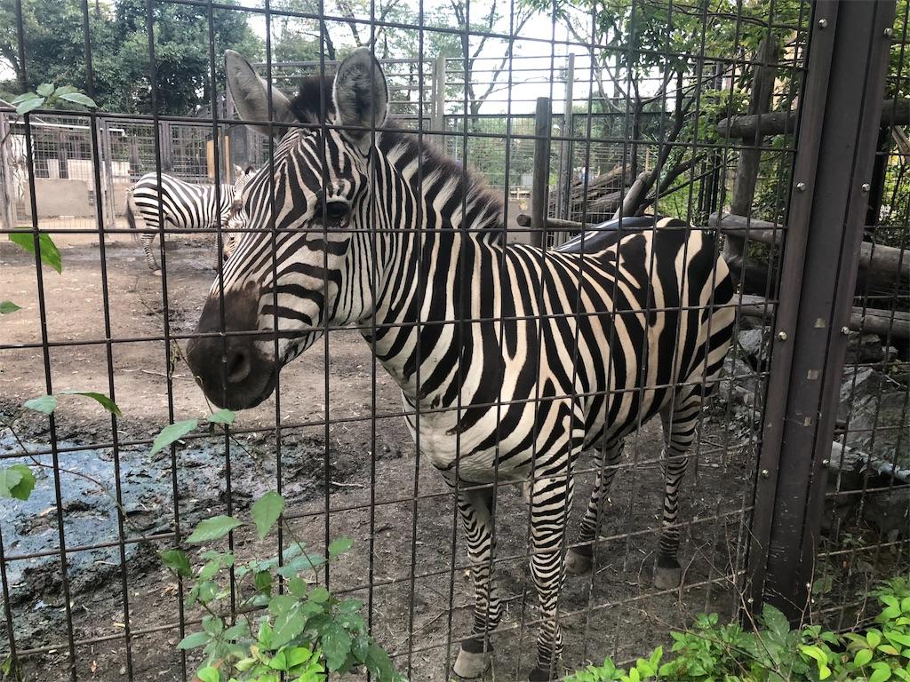 羽村市動物公園 シマウマ