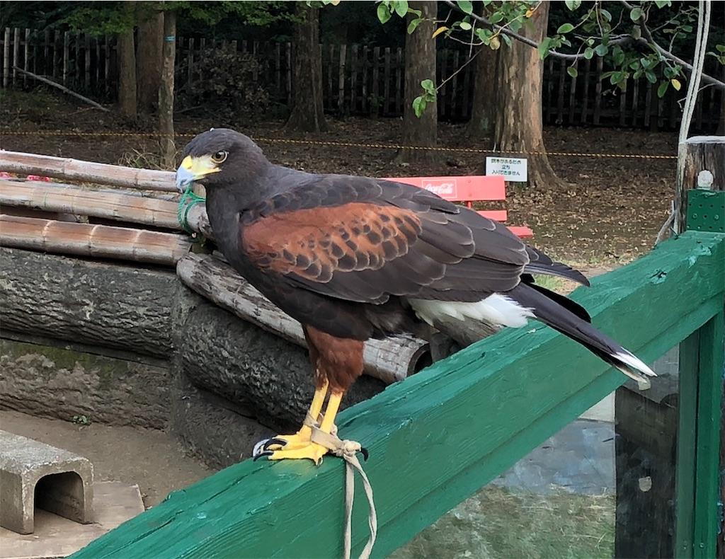 羽村市動物公園 ハリスホークガイド