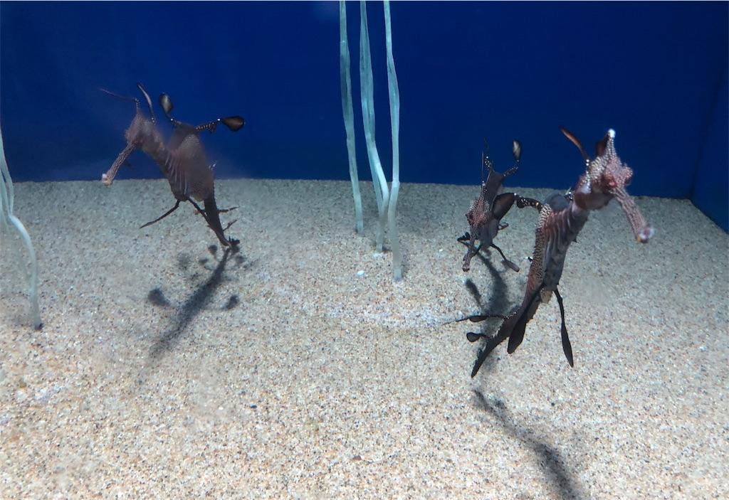 サンシャイン水族館 ウーディシードラゴン