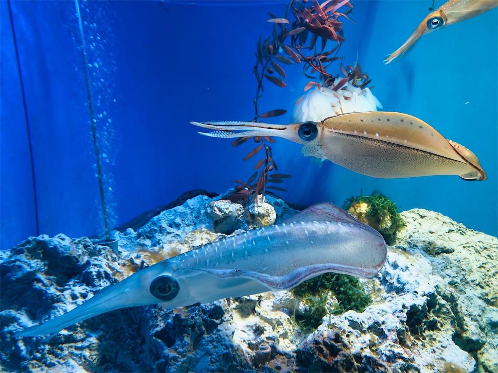 サンシャイン水族館 アオリイカ