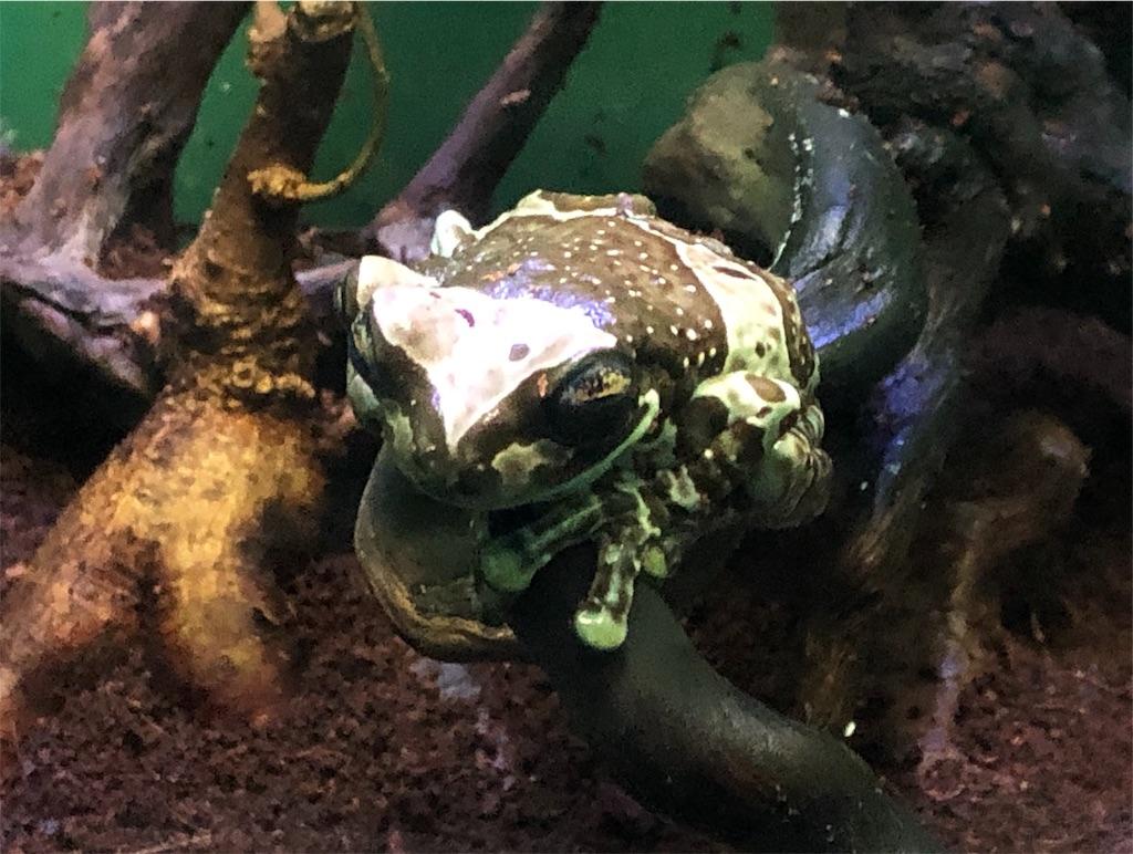 サンシャイン水族館 ジュウジメドクアマガエル
