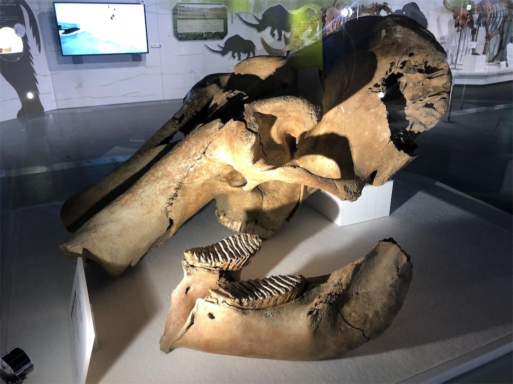 ケナガマンモスの頭骨と下顎骨