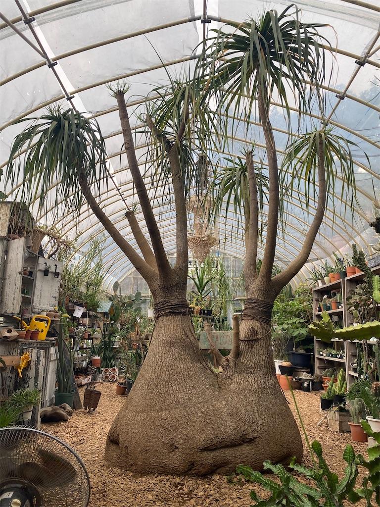 ソルソファーム 根塊植物