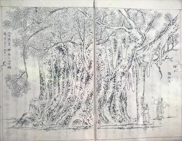 明治時代の大イチョウを描いた絵