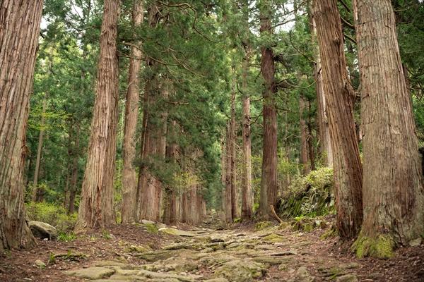 飯山市小菅神社の杉並木