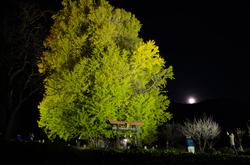 ライトアップされた神戸の大イチョウ