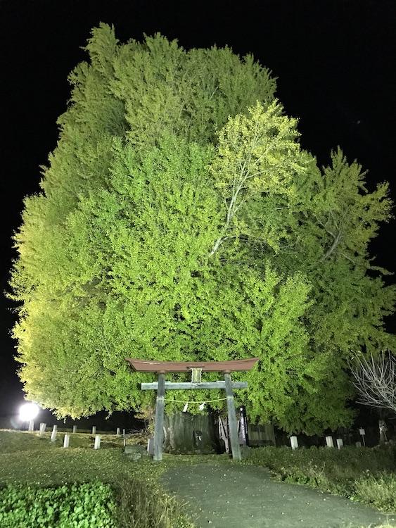 ライトアップされた神戸の大イチョウの画像