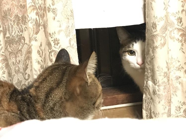 カーテンの陰に隠れている猫の画像