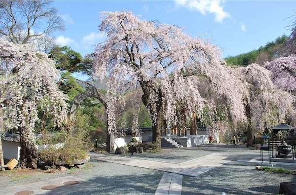 長谷寺の桜の画像