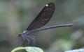 [沖縄][やんばる][自然][昆虫類]リュウキュウハグロトンボ_メス