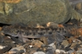 [沖縄][名護][名護博物館][自然][魚類]クロミナミハゼ