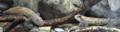 [名護博物館][沖縄][名護][自然][魚類]アヤヨシノボリ_01