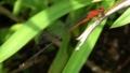 [沖縄][名護][自然][昆虫類]アカナガイトトンボ_オス