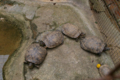 [名護博物館][沖縄][名護][風景]ミシシッピアカミミガメ_甲羅干し