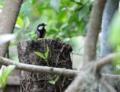 [沖縄][名護][自然][鳥類]シジュウカラの子育て