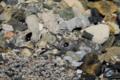 [沖縄][名護][名護博物館][自然][魚類]クロミナミハゼ_02_砂潜り
