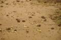 [沖縄][名護][自然][動物]オリイオオコウモリのペリット_01