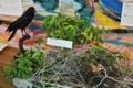 [沖縄][名護][名護博物館][自然][鳥類]企画展_ハシブトガラスの巣