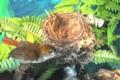[沖縄][やんばる][名護博物館][自然][鳥類]企画展_アカヒゲの巣