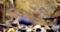 シマヨシノボリのメス(婚姻色)