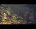[沖縄][名護][魚類][自然][リュウキュウアユ]源河川のリュウキュウアユ
