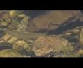 [沖縄][名護][魚類][自然][リュウキュウアユ]リュウキュウアユの食事シーン
