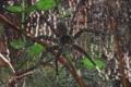 [沖縄][自然][やんばる][昆虫類]オオハシリグモ