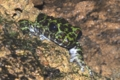 [沖縄][自然][やんばる][両生類]イシカワガエルの顔