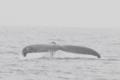 [沖縄][自然][やんばる][海生ほ乳類][ザトウクジラ]