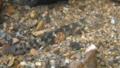 [沖縄][名護][自然][魚類]砂に潜るクロミナミハゼ