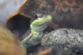 [沖縄][名護][自然][爬虫類]アオカナヘビ