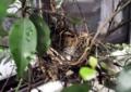 [沖縄][名護][自然][鳥類]ヒヨドリの巣