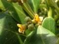 [沖縄][名護][ぶりでぃ子ども博物館][自然]ヒルギダマシの花