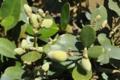 [沖縄][名護][自然][ぶりでぃ子ども博物館]ヒルギダマシの実