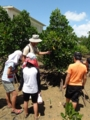 [沖縄][名護][自然][ぶりでぃ子ども博物館]ヤエヤマヒルギ