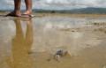 [沖縄][名護][自然][ぶりでぃ子ども博物館]ミナミコメツキガニ