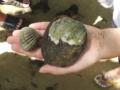 [沖縄][名護][自然][ぶりでぃ子ども博物館]シレナシジミ
