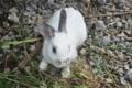 [沖縄][名護][自然][陸生ほ乳類]飼っているウサギ