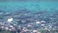 [奄美大島][自然][魚類][リュウキュウアユ]リュウキュウアユ産卵