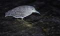 [奄美大島][自然][鳥類]ゴイサギ幼鳥