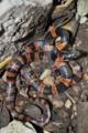 [沖縄][名護][名護博物館][爬虫類]飼育しているアカマタ