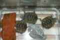 [沖縄][名護][名護博物館][爬虫類]飼育しているカメ