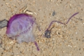 [沖縄][名護][大浦湾][刺胞動物][海]130810_観察会_05_Thysanostoma loriferum?_web.jpg