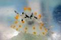 [沖縄][名護][大浦湾][ウミウシ][海]コンペイトウウミウシ.jpg