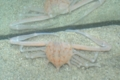 [沖縄][名護][甲殻類][海][大浦湾]ニシヒラトゲコブシ_mail.JPG