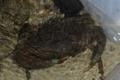 [沖縄][名護][甲殻類][大浦湾][川]ノコギリガザミ_02_mail.JPG
