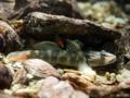 [沖縄][国頭][魚類][川]クロヨシノボリ♂